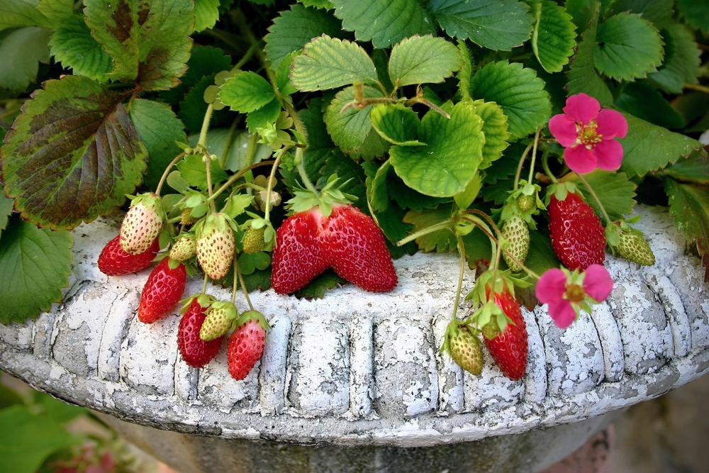 Aardbeienplant fruitstruik - Tuindorado