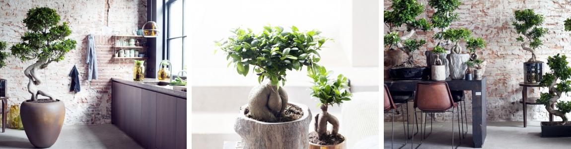 Ficus_Tuindorado