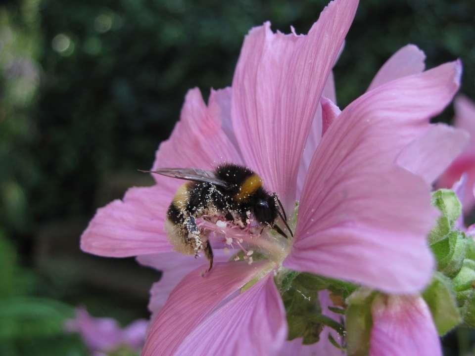Planten Voor Bijen.Bijenplanten En Bloemen Voor Bijen Tuindorado