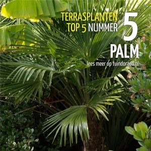 Top 5 terrasplanten: 5. Palm